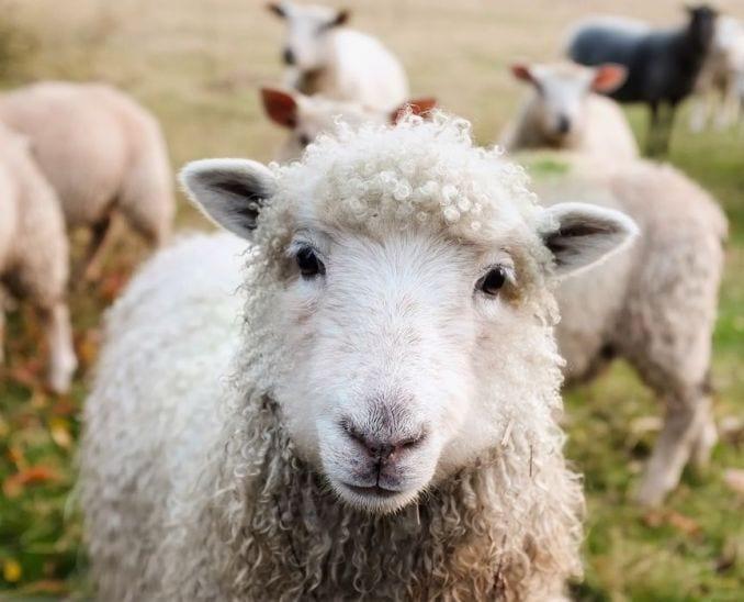 curiosità irlanda pecore