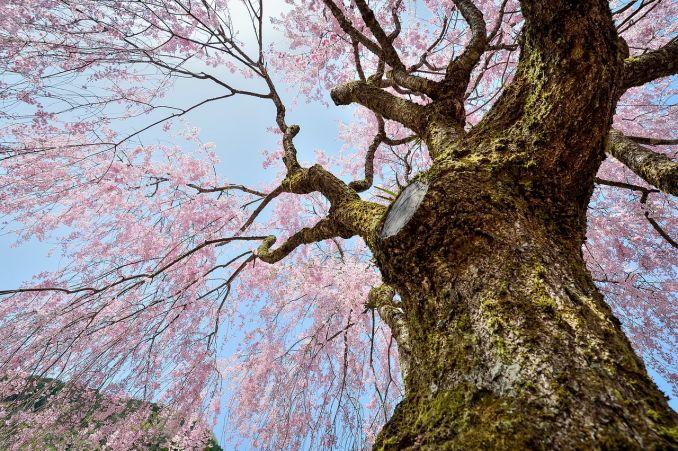 100 cose da fare prima di morire, ciliegio in fiore