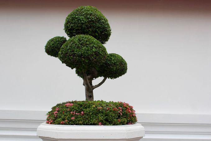 bonsai curiosità sul giappone