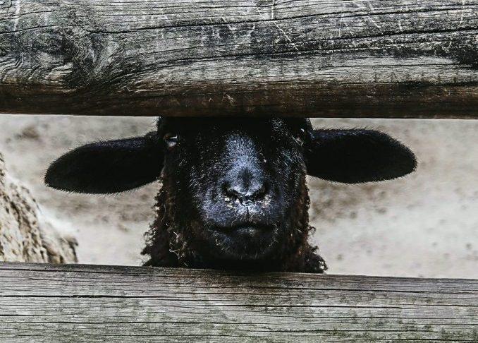 pecora nera