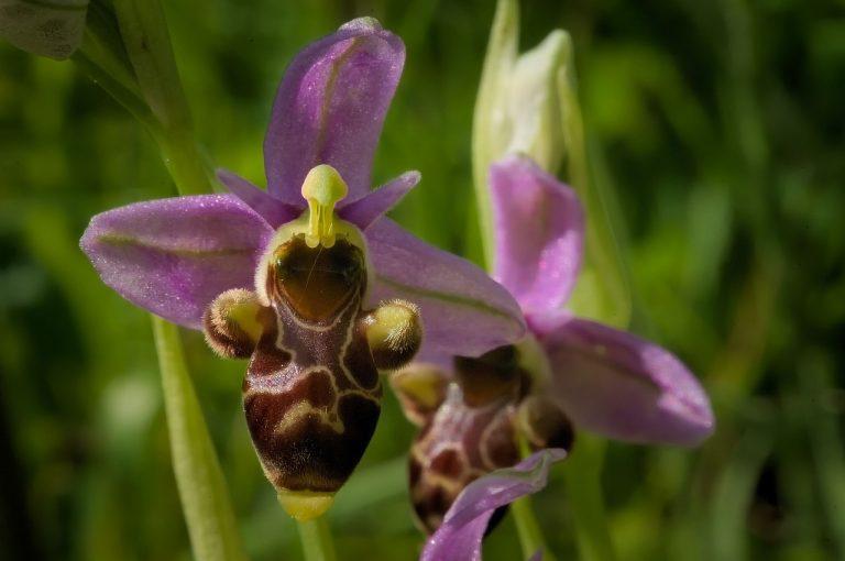 fiori strani orchidea apifera