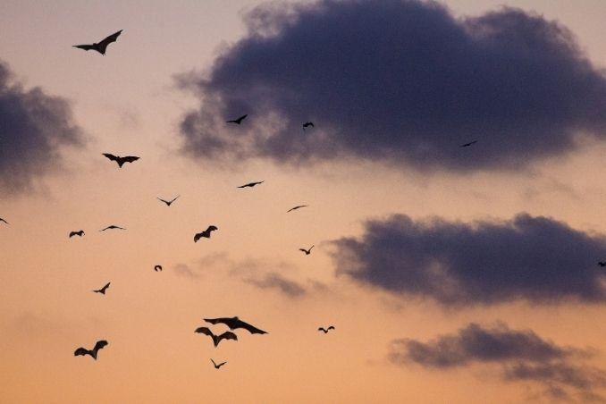 Pipistrelli in volo